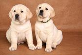 Lab pups — Stockfoto