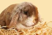 Bunny rabbit — Stock Photo