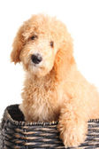 Goldendoodle puppy — Stock Photo