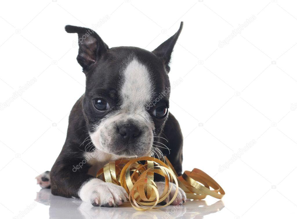 ボストンテリア 子犬