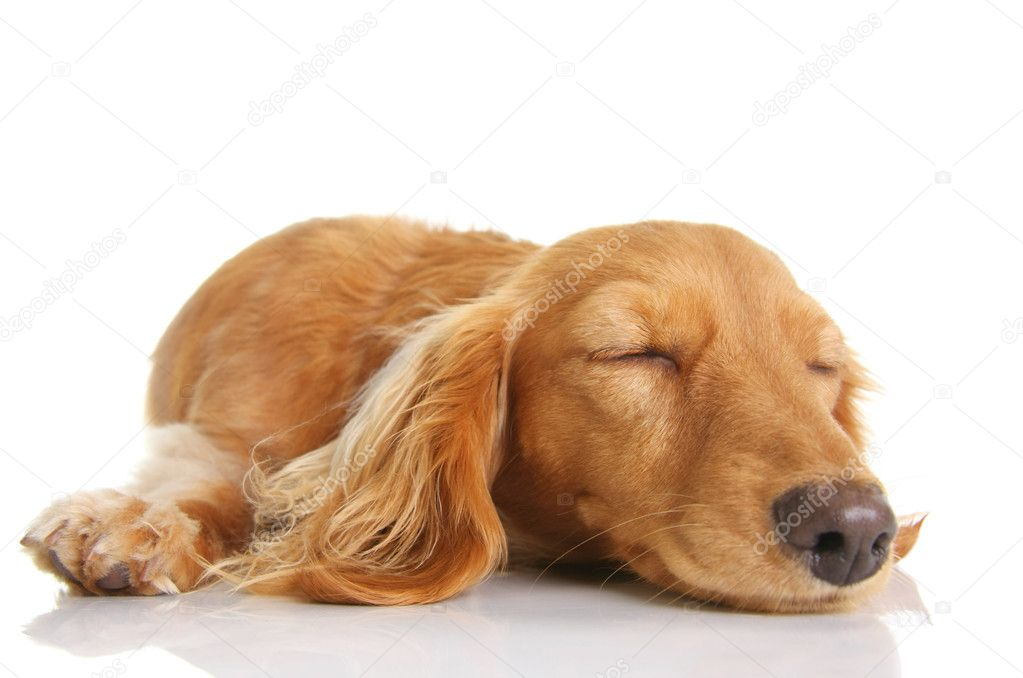 Sleeping long hair dachshund puppy — Stock Photo #11105698