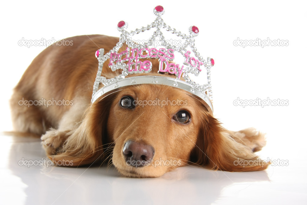 Dachshund wearing a princess crown. Studio isolated.  Stock Photo #11106107