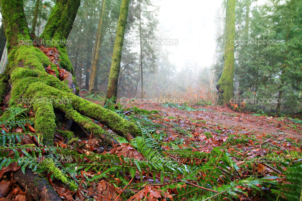 Old growth forest, Vancouver, Canada — Stock Photo #11106655