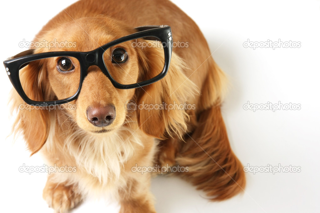 Dachshund wearing eye glasses. — Stock Photo #11106700