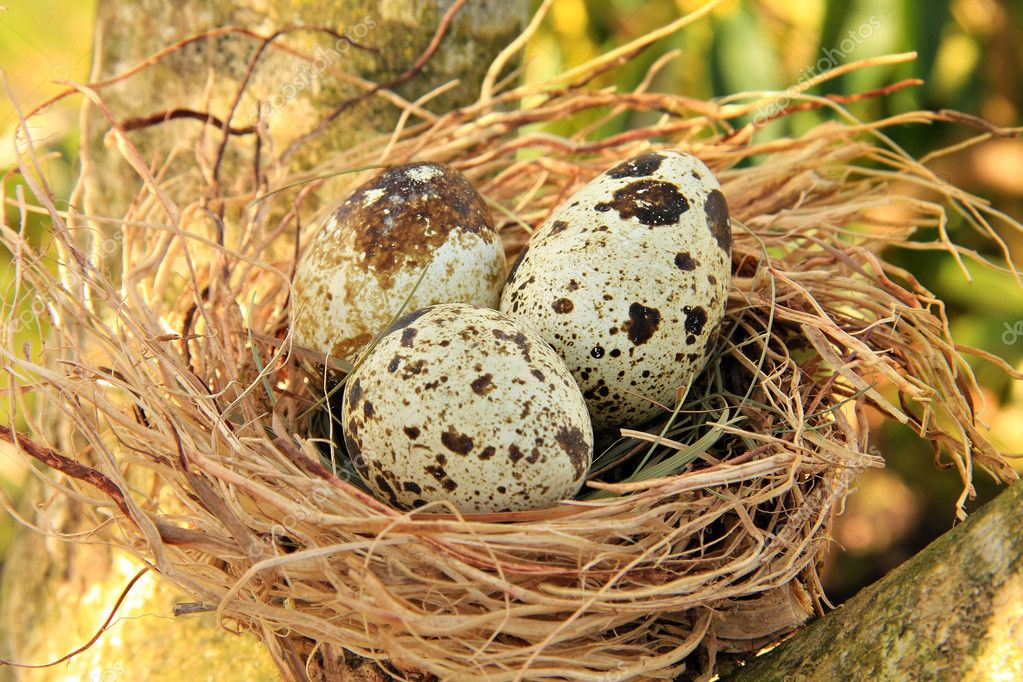 Quail's nest with three spotted eggs. — Stock Photo #11106732