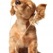 Musical puppy — Stock Photo