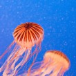 Jellyfish — Stock Photo #11285677