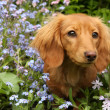 Stock Photo: Dachshund puppy