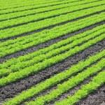 Farmer's crop — Stock Photo #11286196