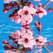 Cherry blossom — Stock Photo #11286530