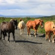 Icelandic horses — Stock Photo #11286716