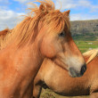 Icelandic horse — Stock Photo #11286720
