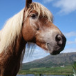 Icelandic horse — Stock Photo #11286727