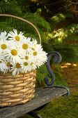 Daisy basket — Stock Photo