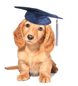 Puppy kindergarten graduate. — Stock Photo