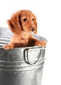 Wet puppy — Stock Photo
