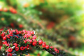 Christmas berries. — Stock Photo