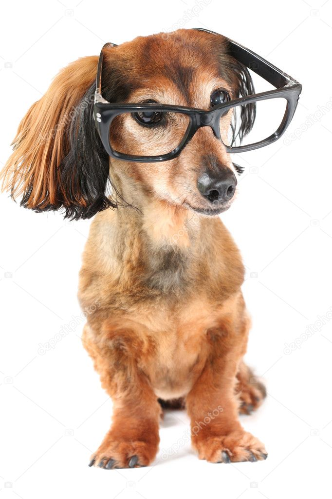 Longhair dachshund wearing glasses. — Stock fotografie #11287176