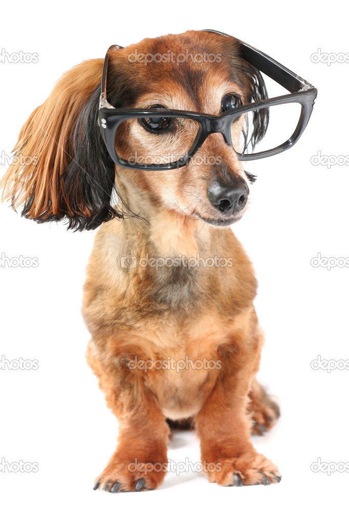 Longhair dachshund wearing glasses.  Stockfoto #11287176