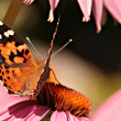 Monarch butterfly on a flower — Stock Photo