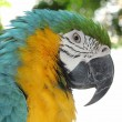 Parrot, blue and yellow - Stock Photo