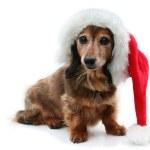 Постер, плакат: Dachshund Santa