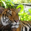 Tiger — Stock Photo #11340575