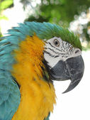 Parrot, blue and yellow — Stock Photo