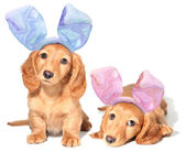 Easter bunny puppies — Stock Photo