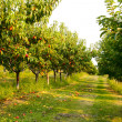 Nectarine orchard - Stock Photo
