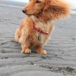 Beach dog — Stock Photo #11458448