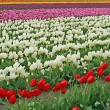 Tulip flower fields - Stock Photo
