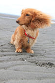 Beach dog — Stock Photo