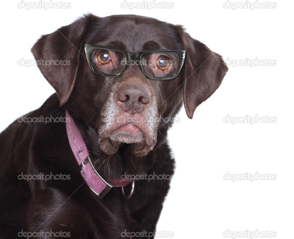 Old labrador retriever wearing eye glasses, studio isolated on white. — Stock Photo #11717074
