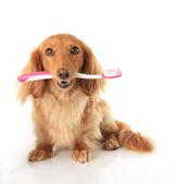 Szczoteczka do zębów psa — Zdjęcie stockowe