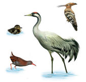 Grey heron, duckling, hoopoe bird and water rail on a white background — Stock Photo