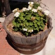 Bloomer in outdoor wooden flowerpot — Stock Photo #11229166