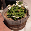 Bloomer in outdoor wooden flowerpot — Stock Photo