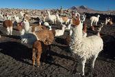 Andean lamas — Stock Photo