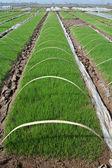Pre-grown seedlings — Stock Photo