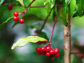 Autumn viburnum berries — Stock Photo