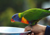 Parrot sits on a hand — Stock Photo