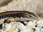 Sand lizard — Stock Photo