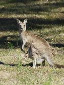 Standing Kangaroo — Stock Photo