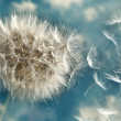Stock Photo: Dandelion Loosing Seeds in Wind