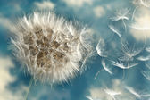 Dandelion Loosing Seeds in the Wind — Stock Photo