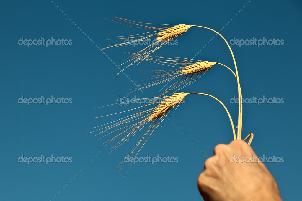 Wheat ears in the hand on the blue sky background — Stockfoto #12082829