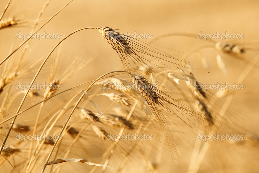 Golden wheats on the field background — Stock Photo #12092143
