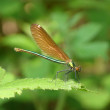 Stock Photo: Dragonfly on bramble leaf
