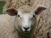 Romney Lamb with big ears — Stock Photo